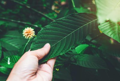 Why we should consider proper kratom strains forever?